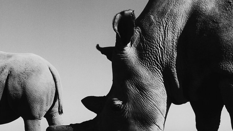 The Last Two Northern White Rhinos On Earth - The New York Times