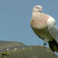 Pigeon cheats death after becoming victim of mistaken identity in Australia
