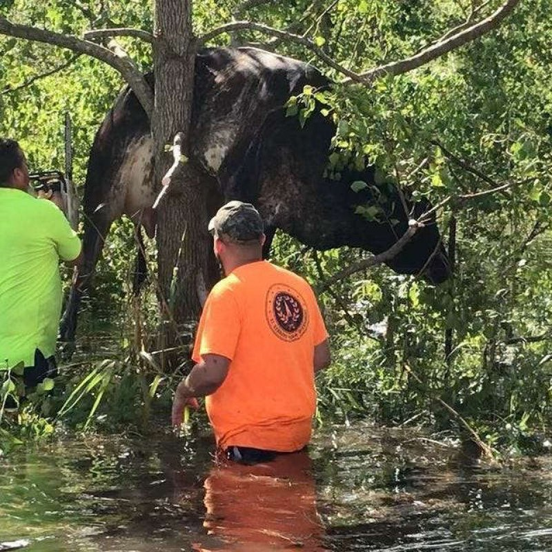 Cow stuck in tree after Hurricane Ida rescued by workers in Louisiana bayou