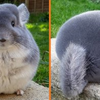 Adorable Violet Chinchillas Look Perfectly Round From Behind (16 Pics) - Kingdoms TV