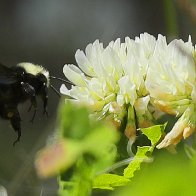 American bumblebees have vanished from 8 U.S. states; could soon be protected under Endangered Species Act