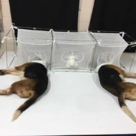 Bipartisan legislators demand answers from Fauci on 'cruel' puppy experiments   TheHill