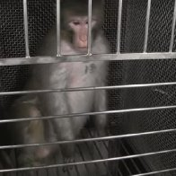 NIH is now accused of spending $100m of taxpayer's money on torturing lab monkeys with ACID and snakes: