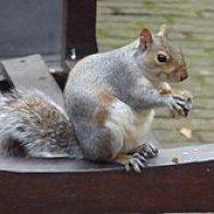 Eastern_Grey_Squirrel_in_Bunhill_Fields