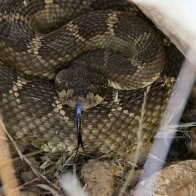 Dozens of Tangled Rattlesnakes Found Beneath Woman's House Floorboards
