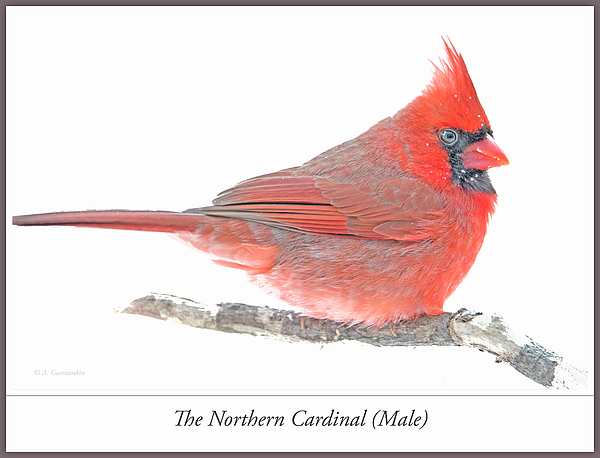 northerncardinalmaleinwinteragurmankin.jpg