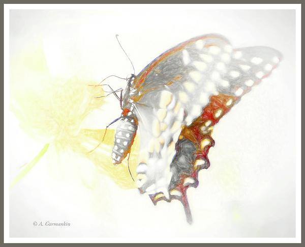 1swallowtailbutterflyoncosmosfloweragurmankin.jpg