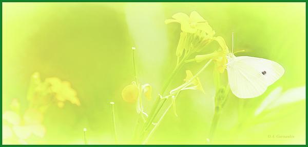 1cabbagebutterflyonyellowgeraniumfloweragurmankin.jpg