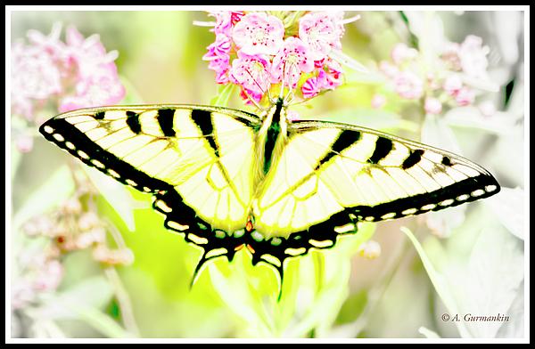 tigerswallowtailbutterflyonmilkweedflowersagurmankin.jpg