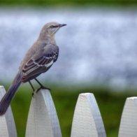 Mockingbird Daily