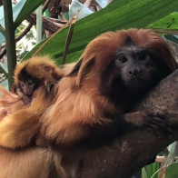The National Zoo's Golden Lion Tamarins Delight Curators with the Delivery of Twins