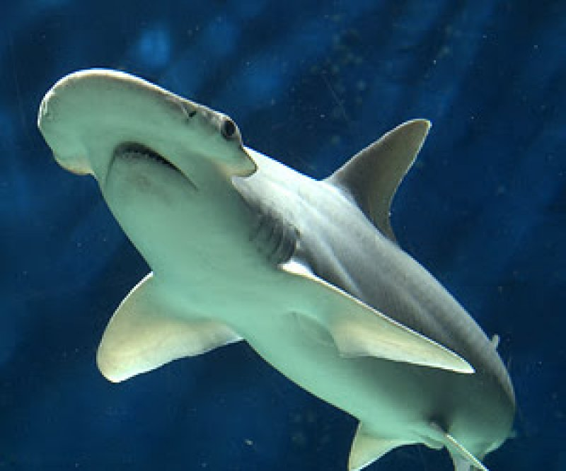 Scientists Have Discovered the First Known Omnivorous Shark