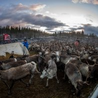 Reindeer in Sweden usually migrate in November. But there's still no snow.