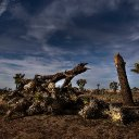 National park visitors cut down protected Joshua trees during Trump's  government shutdown