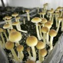 Denver voters to weigh decriminalization of magic mushrooms