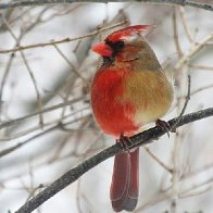 A cardinal that is half male, half female puzzles scientists, delights birdwatchers