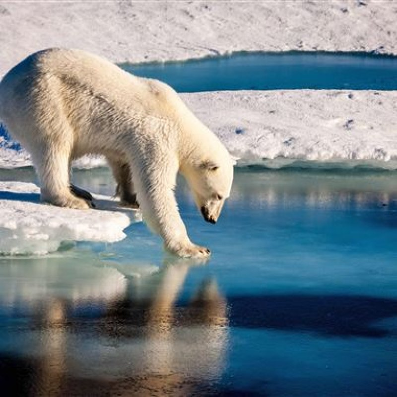 Russian islands declare emergency after polar bear 'invasion'