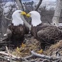 Where eagles flirt: A Capitol tale of love, loss and raccoons