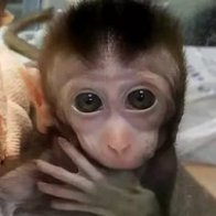 Scientists added human brain genes to monkeys. Yes, it's as scary as it sounds.