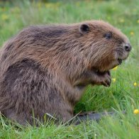 Country diary: that Darth Vader soundalike is one ungrateful beaver