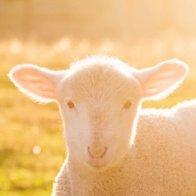 Beware the Wrath of the Suckling Lamb