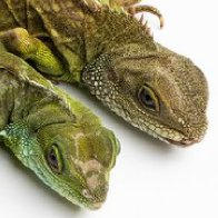 The National Zoo's Female Asian Water Dragon Successfully Reproduced Without a Male
