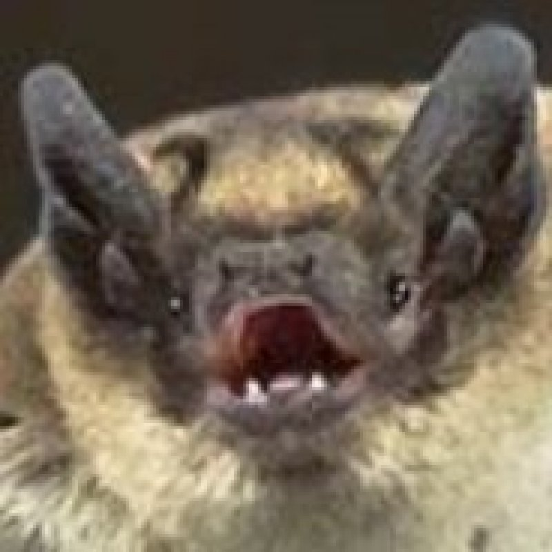 Why do bats have such bizarrely long lifespans?