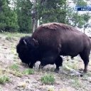 9-year-old girl thrown in the air after Yellowstone bison attacks