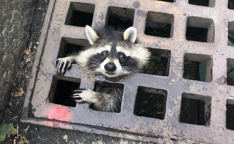 A raccoon got stuck in a storm grate. Ten firefighters in Newton, Massachusetts, worked to get it out.