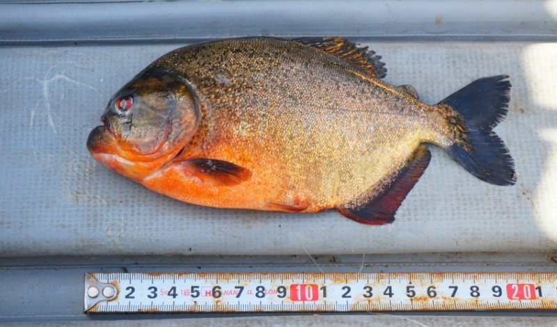 Red-bellied piranha discovered in BC lake by angler