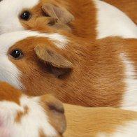 Unusual but true: Guinea pig-flavored ice cream