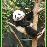 PANDA BEARS ARE FUN TO WATCH