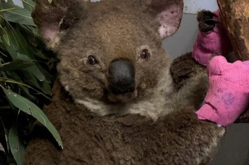 Koalas 'Functionally Extinct' After Australia Bushfires Destroy 80% Of Their Habitat
