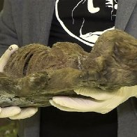 18,000-year-old pup found in Siberian permafrost