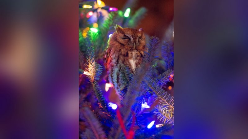 'Mama, that ornament scared me': Family finds owl hiding in Christmas tree