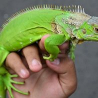 National Weather Service issues alert for falling iguanas