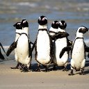 Call of the wild? African penguins share some linguistic patterns with humans.