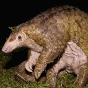 Pangolins are possible coronavirus hosts, scientists say