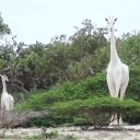 Two of the last white giraffes on Earth were slaughtered by poachers