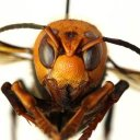 Asian giant hornet invasion becomes latest 2020 concern