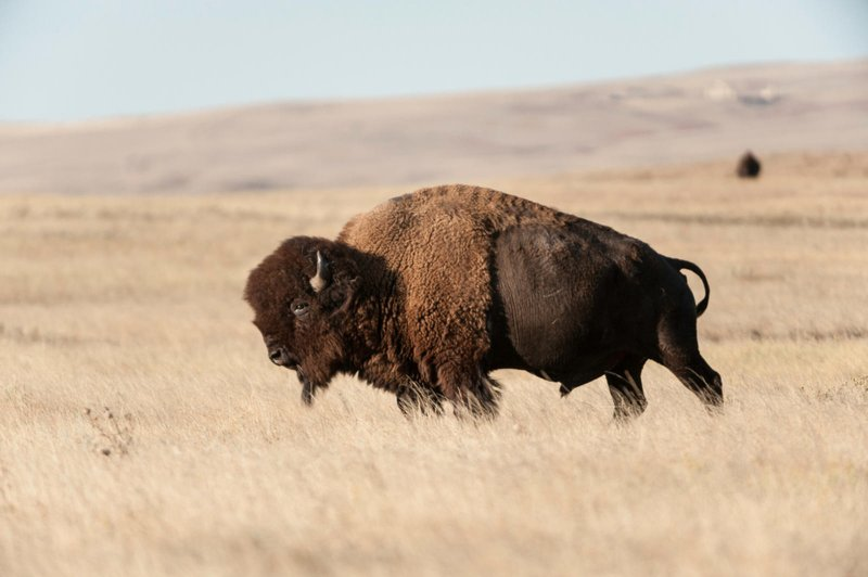 Rosebud Sioux Tribe will create the largest native-owned and managed bison herd in North America