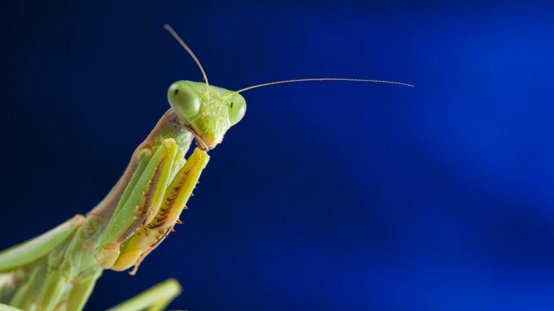 WATCH: Praying mantis eats a murder hornet's face, becomes Twitter's new hero