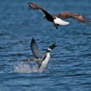 'Shot through the heart': Loon fatally stabs bald eagle in defence of chicks