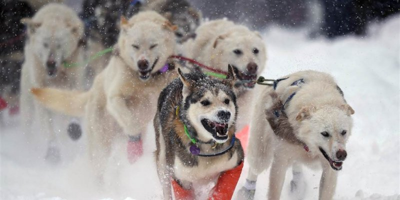 Ancient sled dogs helped ice-age humans conquer the cold