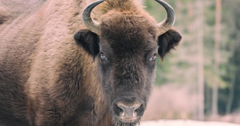 Wild bison gores 72-year-old woman in Yellowstone after she got too close - CBS News