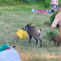 Naked man caught chasing boar that stole his laptop