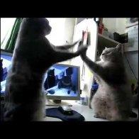 Cats Playing Patty Cake (The original version)