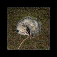 A Possum, Playing Possum.