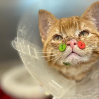 Cat has plastic buttons sewn to its face after dog attack