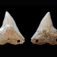 Why Did Ancient Indigenous Groups in Brazil Hunt Sharks?